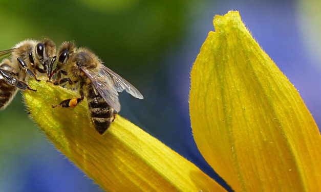 Exigen la prohibición total de los insecticidas dañinos para las abejas