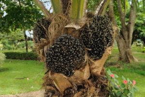 España quiere seguir destruyendo la selva para producir aceite de palma