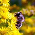 Piden que se apoye la prohibición de tres insecticidas peligrosos para las abejas