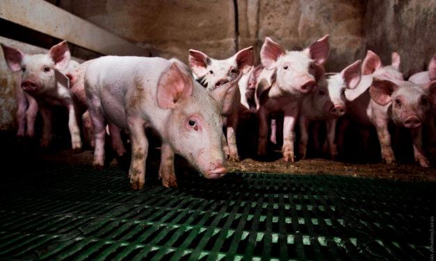 Alegaciones al proyecto de explotación de 3600 cerdos de cebo en Alcázar de San Juan