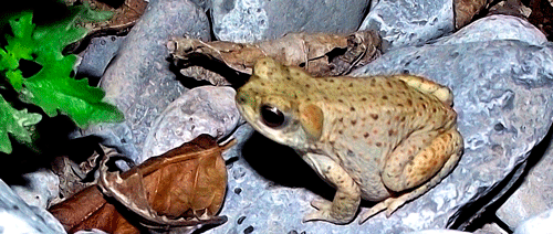 Denuncian la regresión del sapo de espuelas en la provincia de Málaga