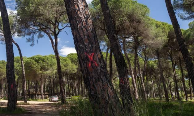 El ayuntamiento de Hinojos sentencia 300 pinos de gran porte