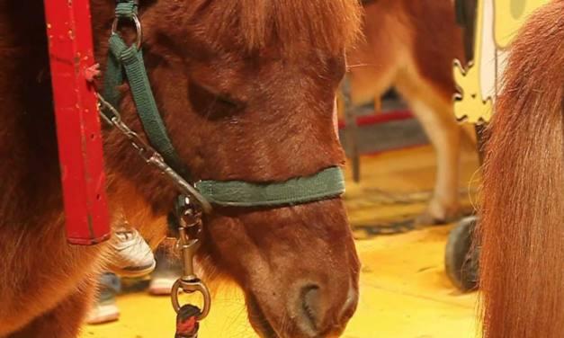 Lamentan que el PSOE desee la vuelta de los ponis a la Feria de Málaga