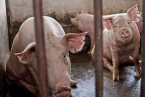 La burbuja de las macrogranjas de cerdos