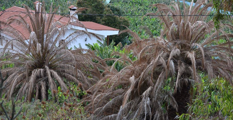 Denuncian que se han envenenado palmeras canarias
