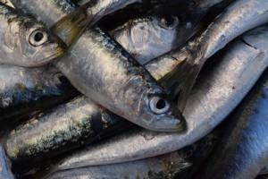 Piden un plan de recuperación de la sardina ibérica