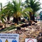 Tala indiscriminada de palmeras canarias en la rotonda de El Veril