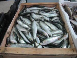 Lamentan que el Ministerio reabra la pesca de la sardina ibérica pese a estar al borde del colapso