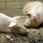 No a la macrogranja de Llano de Bureba
