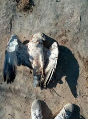 Denuncian la electrocución de un Águila culebrera