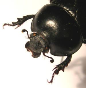 <em>Jekelius bahilloi</em>, una nueva especie ibérica de insecto (coleóptero)