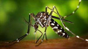 Confirmada la presencia del mosquito tigre en Vélez-Málaga