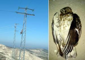 Sigue aumentando la lista de aves muertas en tendidos eléctricos