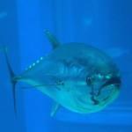Pesca ilegal: uno de los problemas del atún rojo