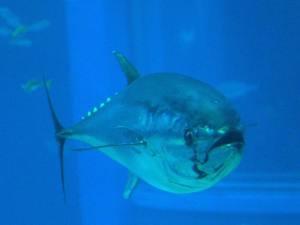 Pesca ilegal: uno de los grandes problemas del atún rojo