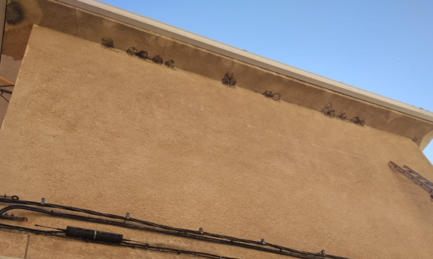 Los nidos de golondrinas están protegidos por Ley