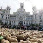 El paso del rebaño de ovejas evidencia la degradación de la Red de Vías Pecuarias