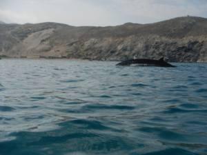 ¿Qué hacía un Zifio a escasos metros de una playa en el Cabo de Tres Forcas?