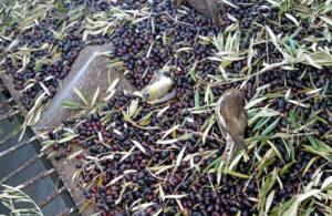 El olivar superintensivo, una nueva amenaza para las aves