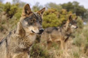 Batidas de lobo clandestinas e ilegales en el Parque Nacional Picos de Europa