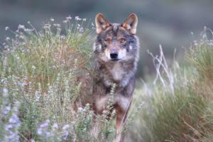 Ocho meses de gobierno de Pedro Sánchez sin avances en la protección efectiva del lobo