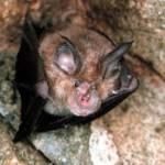 Piden campañas a favor de los murciélagos