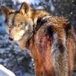 El lobo no es moneda de cambio electoral