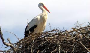 Denunciada la destrucción de nidos de cigüeña en la Iglesia de Alcolea de Cinca