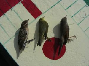 Aves que mueren por colisión con edificios en Cádiz